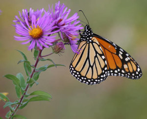 monarch-on-aster_CreditUSFWS_public-domain