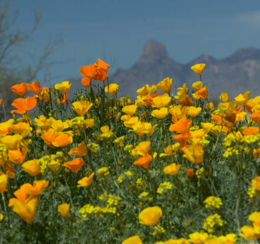 poppies&mountains_CreditUSFWS_public-domain